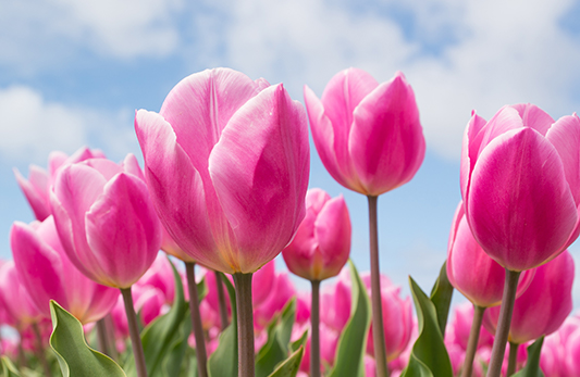 Field of pink tulips with a blue sky